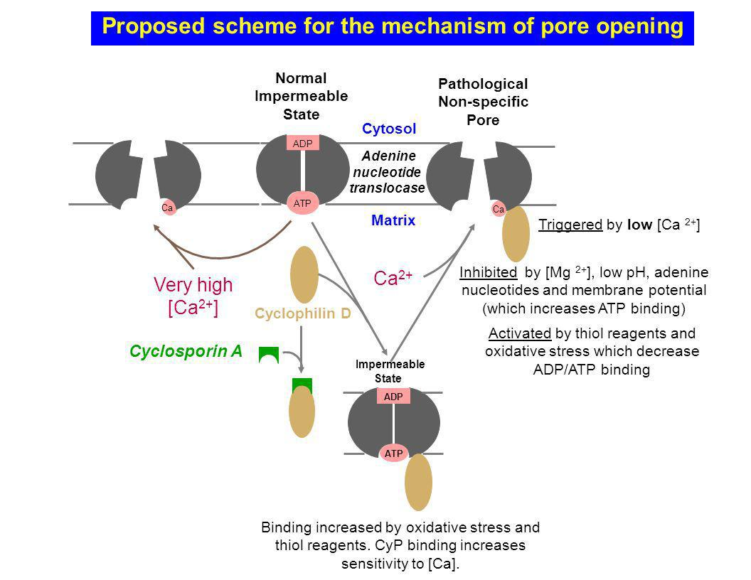 Proposed scheme for the mechanism of pore opening ATP ADP Cytosol Matrix Normal Impermeable State Adenine nucleotide translocase Ca Very high [Ca 2+ ]