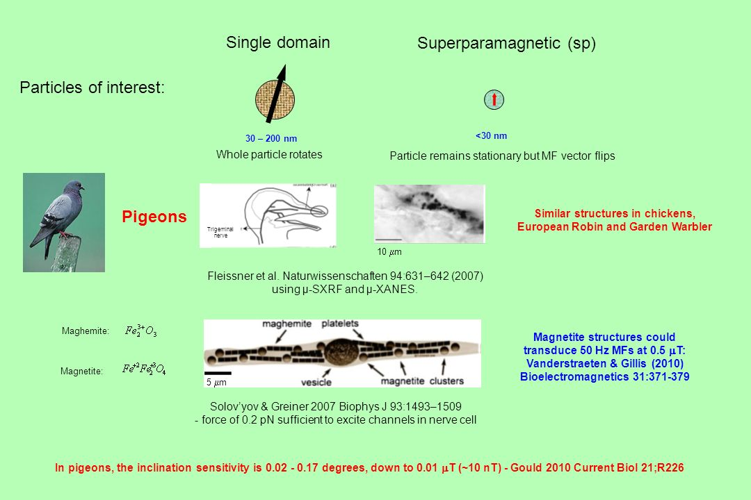 Particles of interest: Single domain Superparamagnetic (sp) Whole particle rotates Particle remains stationary but MF vector flips Pigeons Solovyov &