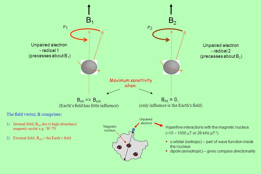 1 2 Unpaired electron - radical 1 (precesses about B 1 ) Unpaired electron - radical 2 (precesses about B 2 ) B1B1 B2B2 The field vector, B comprises