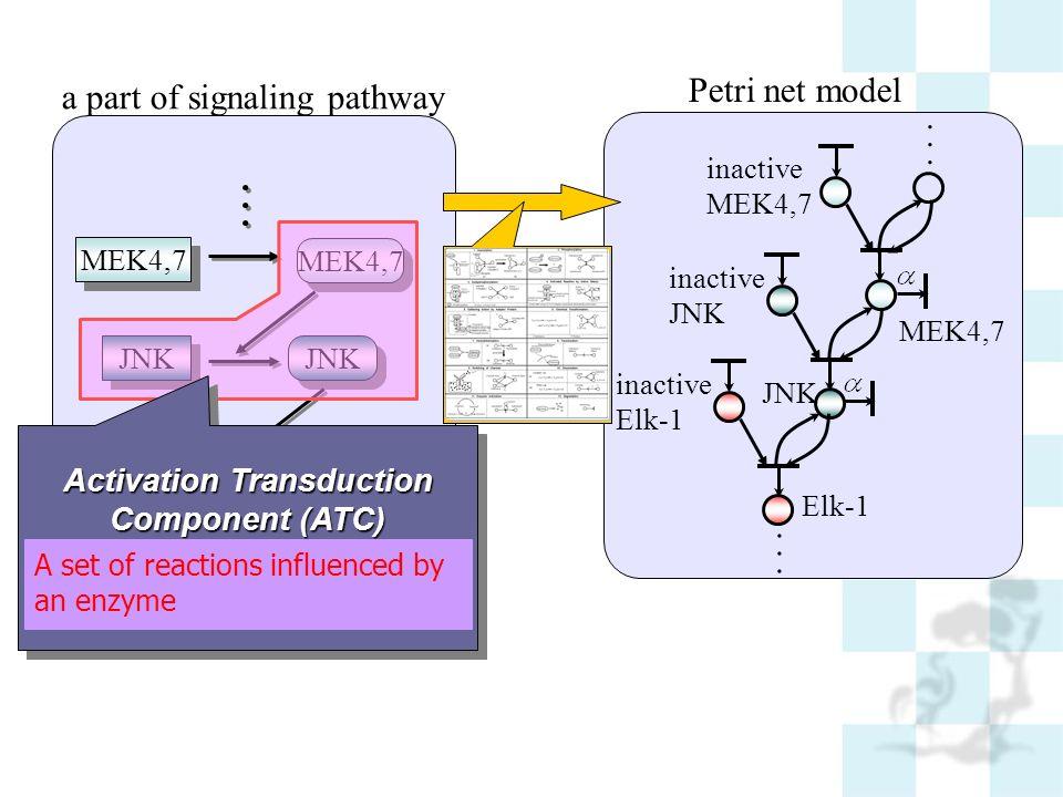 Petri net model inactive JNK MEK4,7... inactive Elk-1 inactive MEK4,7 a part of signaling pathway... MEK4,7 JNK MEK4,7... Elk-1 Activation Transductio