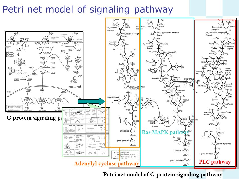 Petri net model of G protein signaling pathway Petri net model of signaling pathway G protein signaling pathway Ras-MAPK pathway PLC pathway Adenylyl