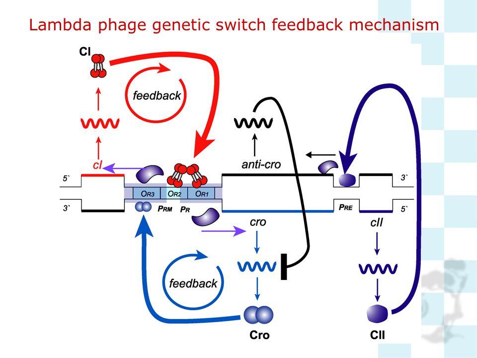 Lambda phage genetic switch feedback mechanism