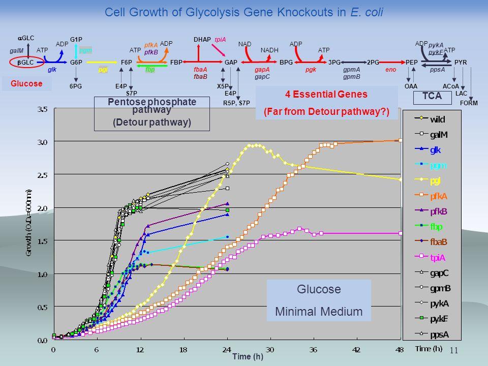 11 Glucose Minimal Medium GLC G6PFBP ATP ADP GAP DHAP NAD NADH BPG ADP ATP 3PG2PGPEPPYR 6PGACoA FORM LAC F6P OAA pfkA pfkB fbaA fbaB pgi tpiA gpmA gpmB ppsA ATP ADP gapA gapC pgk enofbp G1P pgmATP ADP glk GLC galM pykA pykF E4P S7P X5P E4P R5P, S7P 4 Essential Genes (Far from Detour pathway ) Pentose phosphate pathway (Detour pathway) TCA Cell Growth of Glycolysis Gene Knockouts in E.