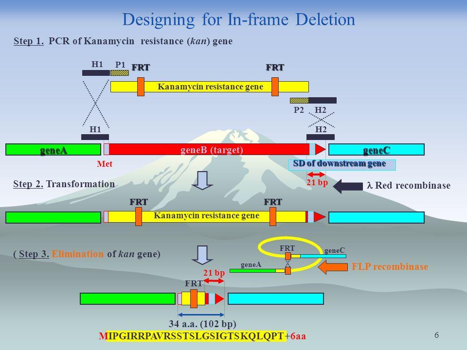 6 P1 P2 H1 H2 Kanamycin resistance gene FRTFRT 21 bp geneB (target) geneAgeneC H1H2 Met Step 1.
