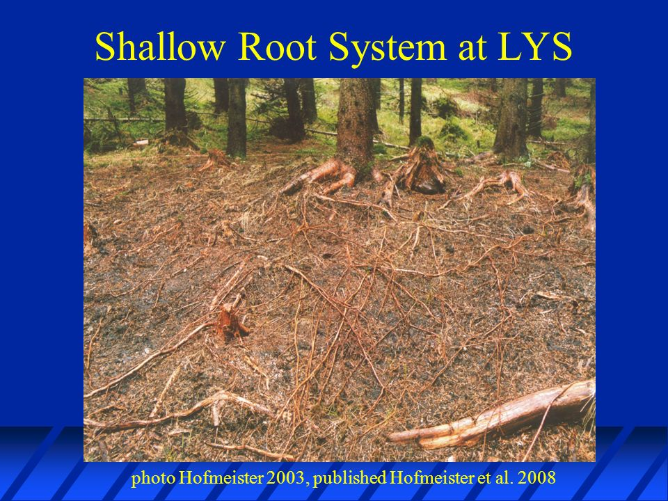 Shallow Root System at LYS photo Hofmeister 2003, published Hofmeister et al. 2008