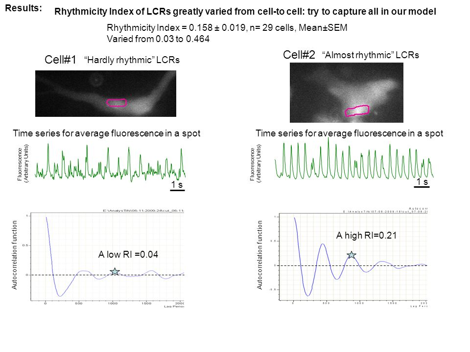 Time series for average fluorescence in a spot Cell#1 Cell#2 A low RI =0.04 A high RI=0.21 Rhythmicity Index of LCRs greatly varied from cell-to cell: try to capture all in our model Results: Rhythmicity Index = 0.158 ± 0.019, n= 29 cells, Mean±SEM Varied from 0.03 to 0.464 Hardly rhythmic LCRs Almost rhythmic LCRs Autocorrelation function 1 s Fluorescence (Arbitrary Units) 1 s Fluorescence (Arbitrary Units) Time series for average fluorescence in a spot
