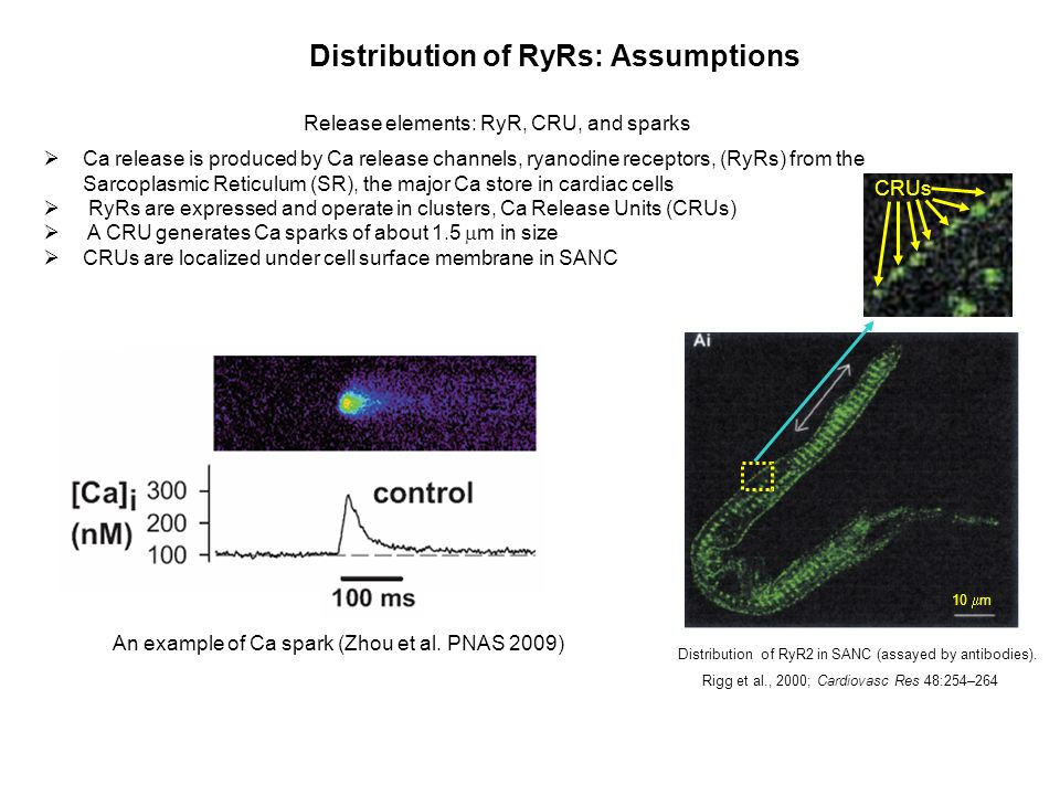 Distribution of RyRs: Assumptions Release elements: RyR, CRU, and sparks Ca release is produced by Ca release channels, ryanodine receptors, (RyRs) from the Sarcoplasmic Reticulum (SR), the major Ca store in cardiac cells RyRs are expressed and operate in clusters, Ca Release Units (CRUs) A CRU generates Ca sparks of about 1.5 m in size CRUs are localized under cell surface membrane in SANC An example of Ca spark (Zhou et al.