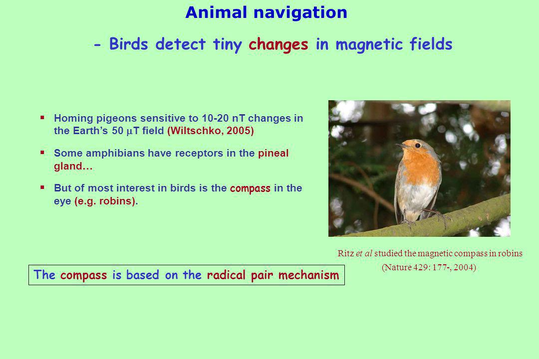 Animal navigation Homing pigeons sensitive to 10-20 nT changes in the Earths 50 T field (Wiltschko, 2005) Some amphibians have receptors in the pineal gland… But of most interest in birds is the compass in the eye (e.g.