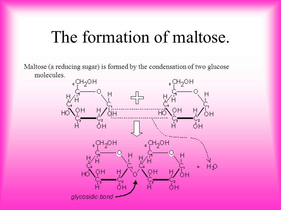 The formation of maltose.