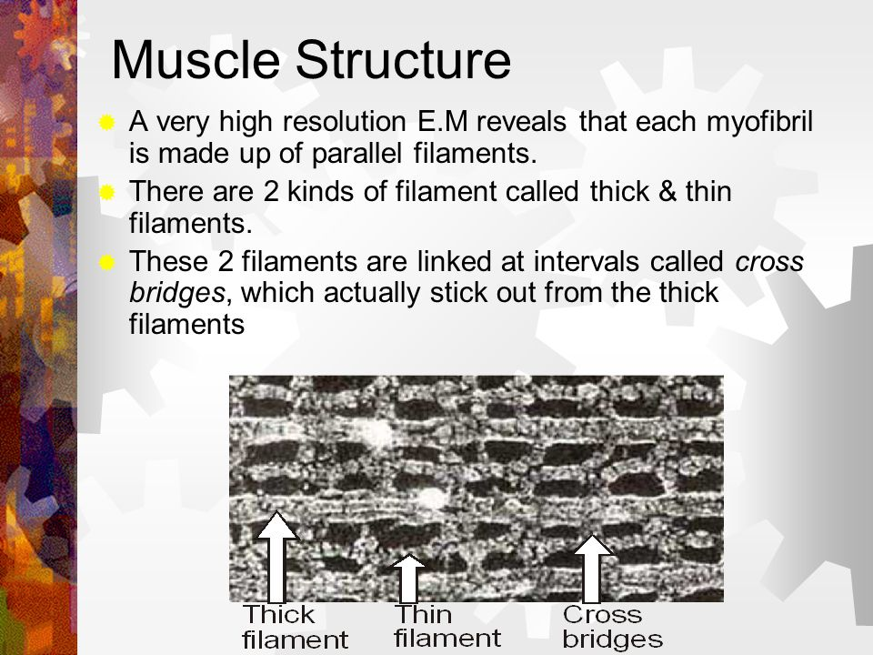 Muscle Structure A very high resolution E.M reveals that each myofibril is made up of parallel filaments. There are 2 kinds of filament called thick &