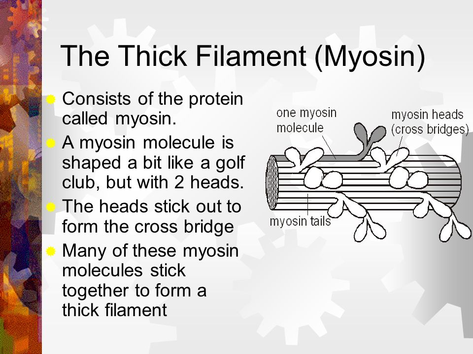 The Thick Filament (Myosin) Consists of the protein called myosin. A myosin molecule is shaped a bit like a golf club, but with 2 heads. The heads sti