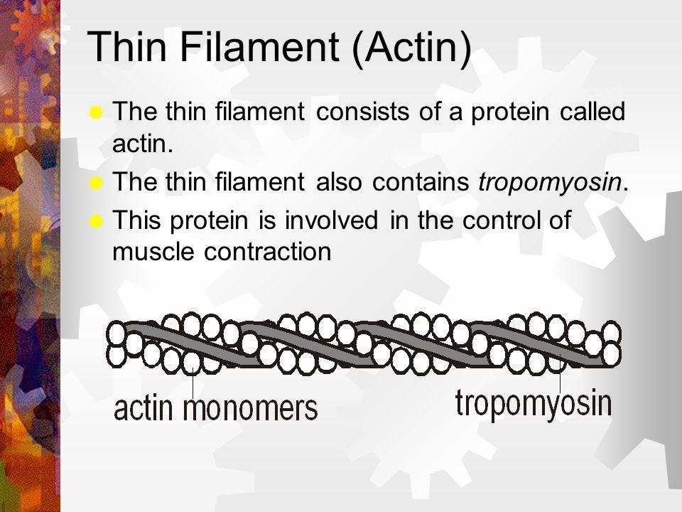 Thin Filament (Actin) The thin filament consists of a protein called actin. The thin filament also contains tropomyosin. This protein is involved in t
