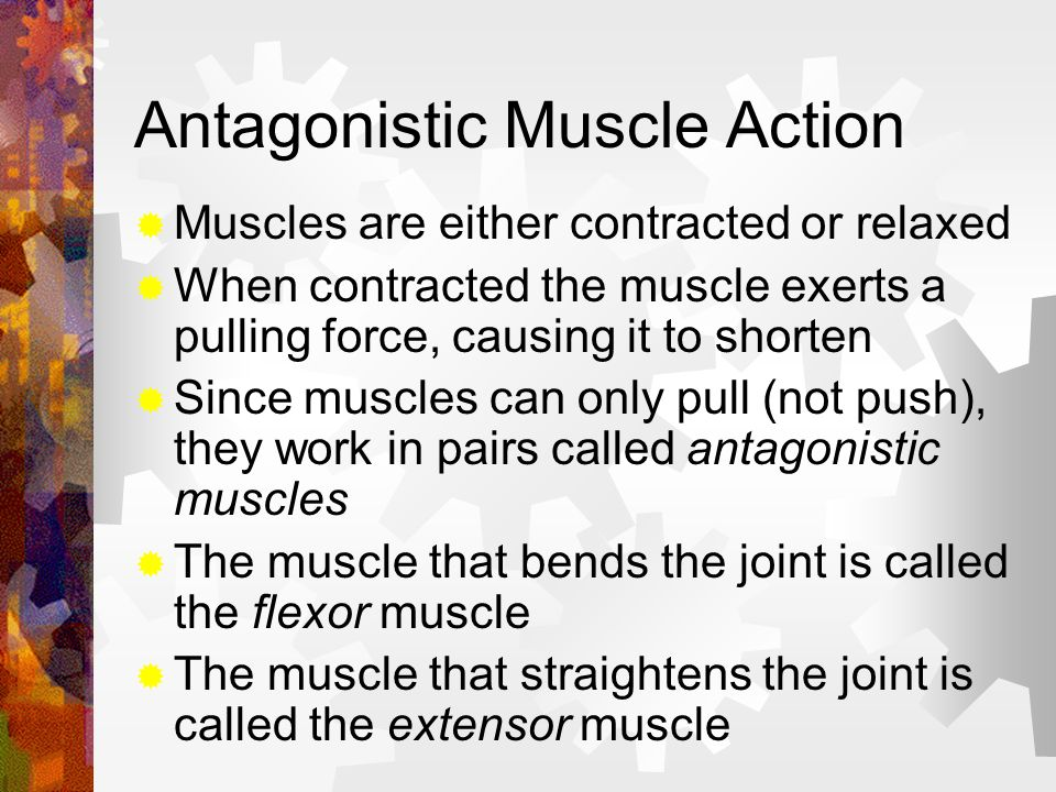 Antagonistic Muscle Action Muscles are either contracted or relaxed When contracted the muscle exerts a pulling force, causing it to shorten Since mus