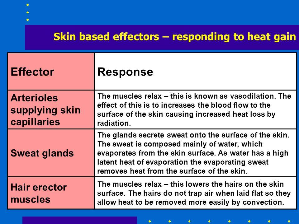 Skin based effectors – responding to heat gain EffectorResponse Arterioles supplying skin capillaries The muscles relax – this is known as vasodilatio