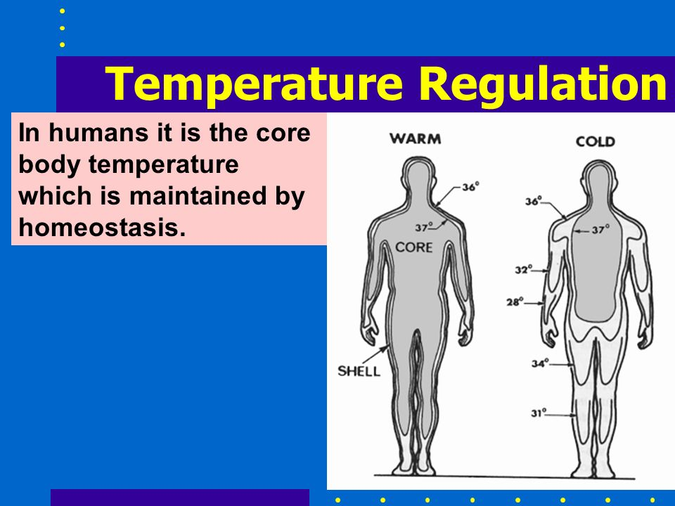 In humans it is the core body temperature which is maintained by homeostasis.