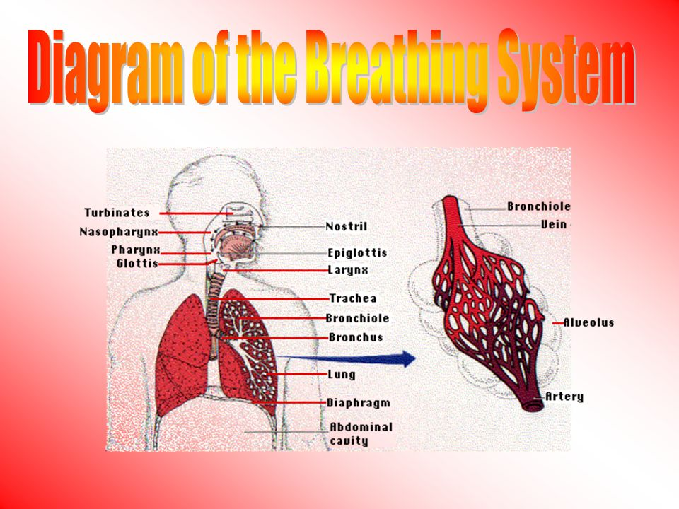 The concentration gradient across the respiratory system is maintained by: 1)Blood flow on one side 2)Air flow on the other side This allows oxygen to diffuse down its own gradient from air to blood, while carbon dioxide can diffuse down its own concentration gradient from blood to air.