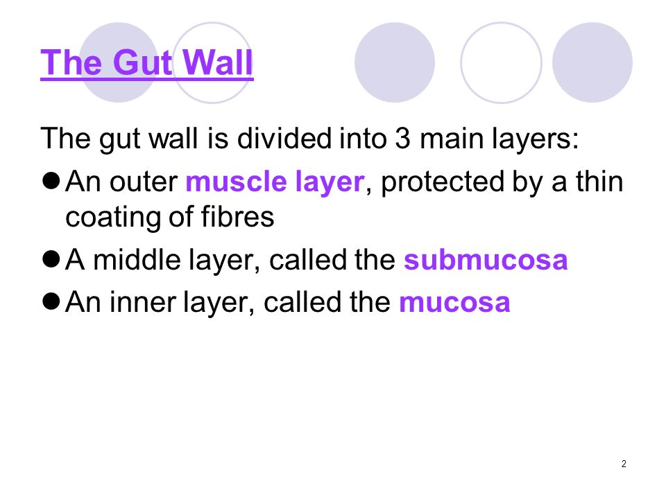 2 The Gut Wall The gut wall is divided into 3 main layers: An outer muscle layer, protected by a thin coating of fibres A middle layer, called the submucosa An inner layer, called the mucosa