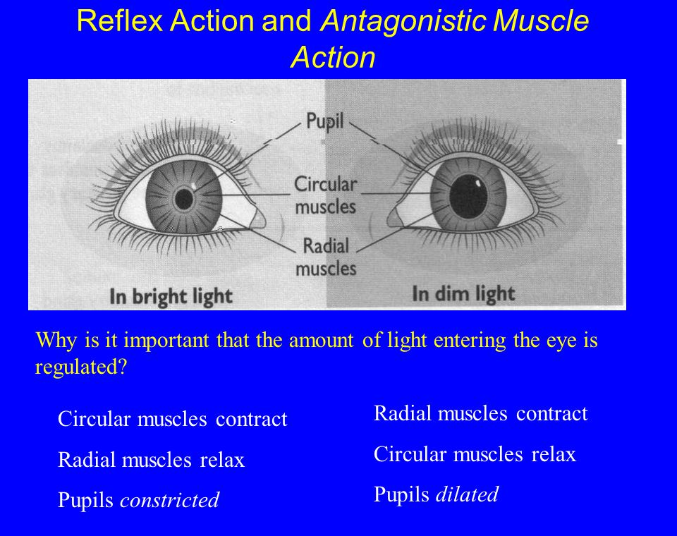Reflex Action and Antagonistic Muscle Action Circular muscles contract Radial muscles relax Pupils constricted Radial muscles contract Circular muscles relax Pupils dilated Why is it important that the amount of light entering the eye is regulated