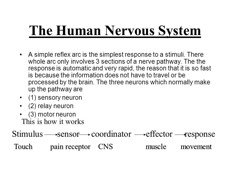 The Human Nervous System AA simple reflex arc is the simplest response to a stimuli. There whole arc only involves 3 sections of a nerve pathway. The