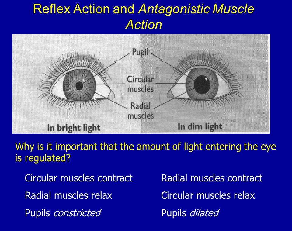 Reflex Action and Antagonistic Muscle Action Circular muscles contract Radial muscles relax Pupils constricted Radial muscles contract Circular muscle