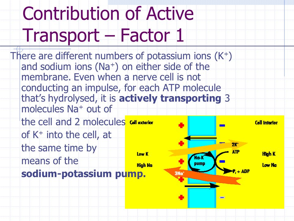 Contribution of Active Transport – Factor 1 There are different numbers of potassium ions (K + ) and sodium ions (Na + ) on either side of the membrane.