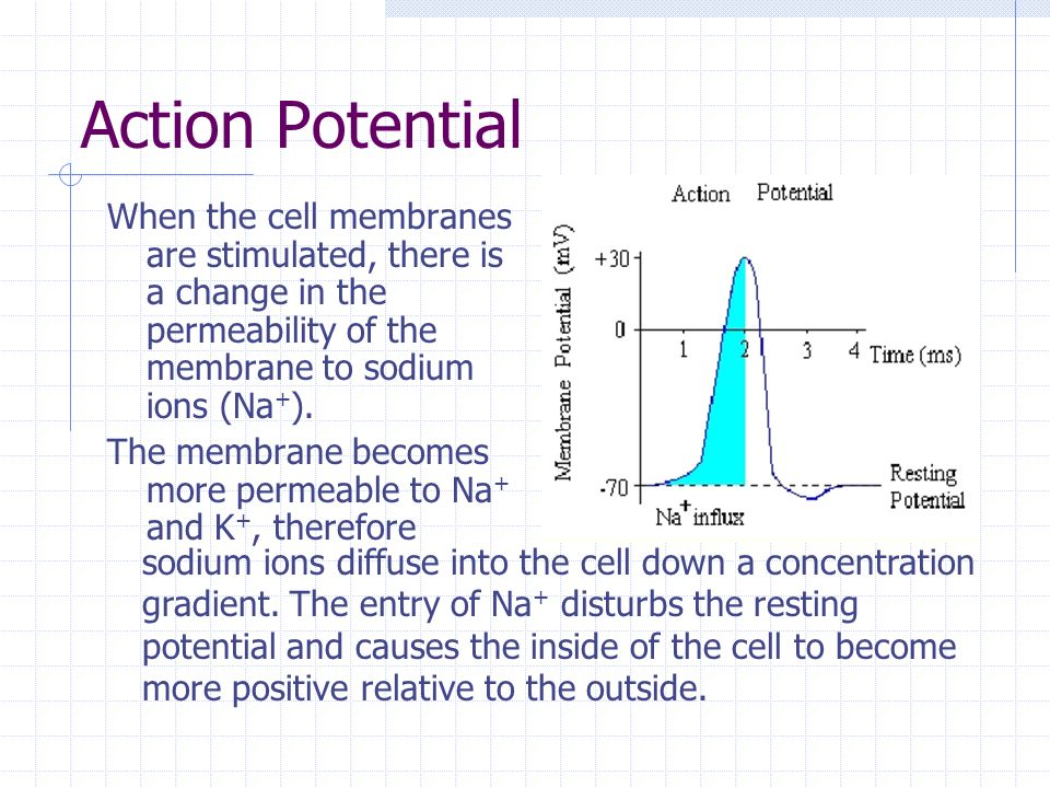 Action Potential When the cell membranes are stimulated, there is a change in the permeability of the membrane to sodium ions (Na + ). The membrane be