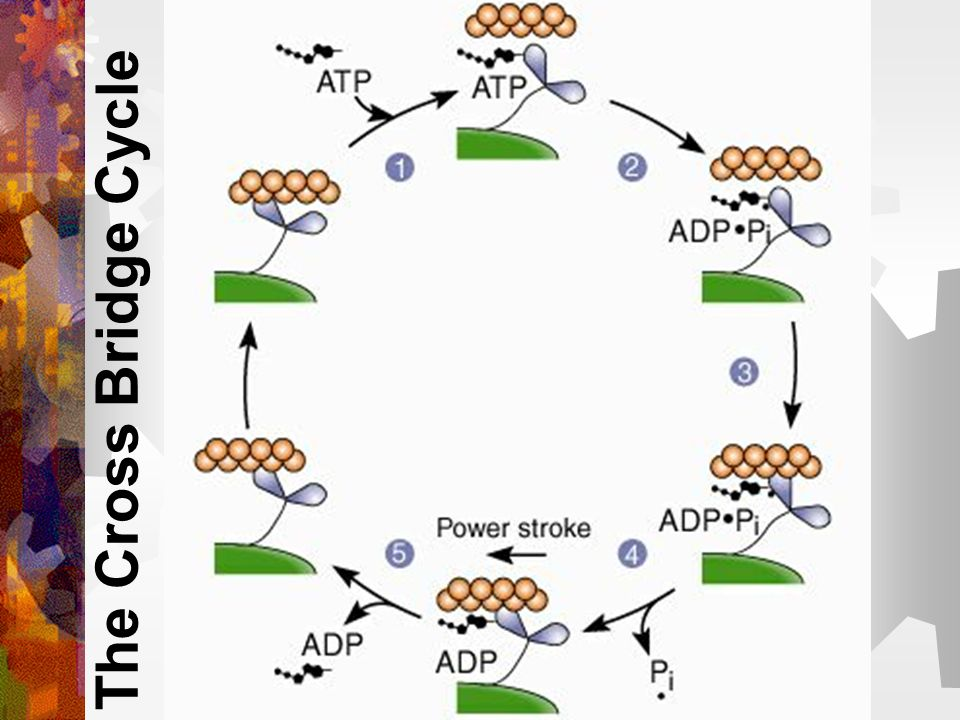 4-5. The ADP and Pi are then released from the myosin head Result = Power stroke occurs (the myosin head changes shape) This draws the actin filament