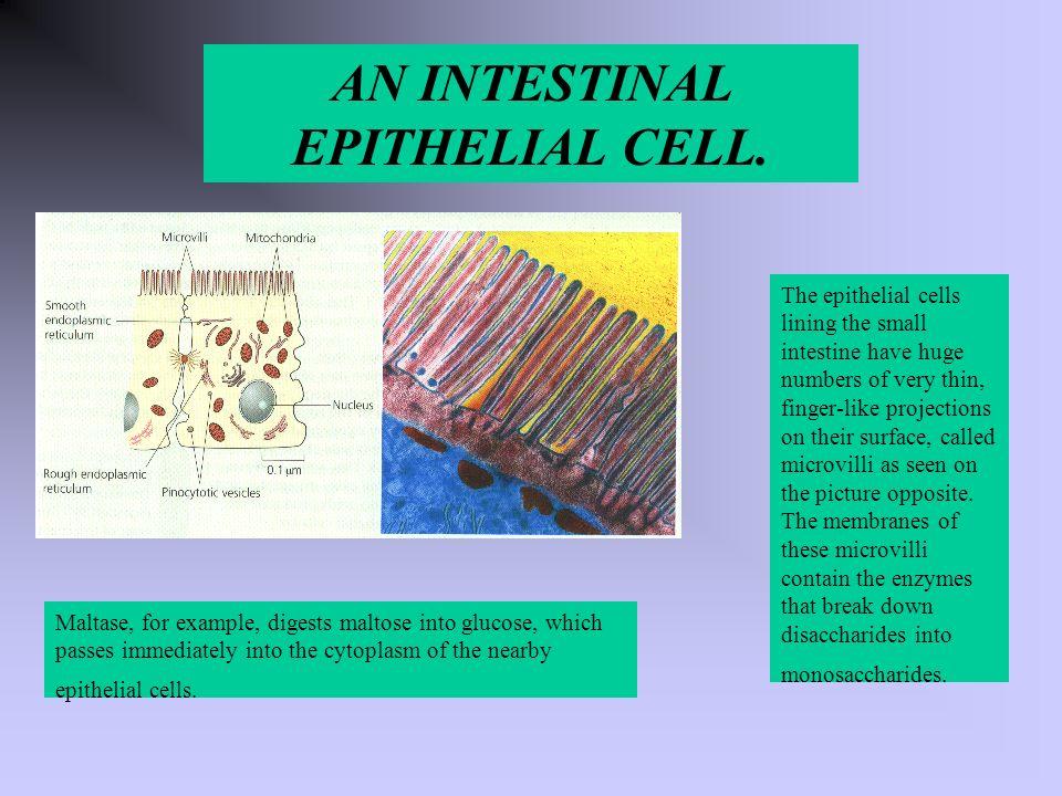 AN INTESTINAL EPITHELIAL CELL.