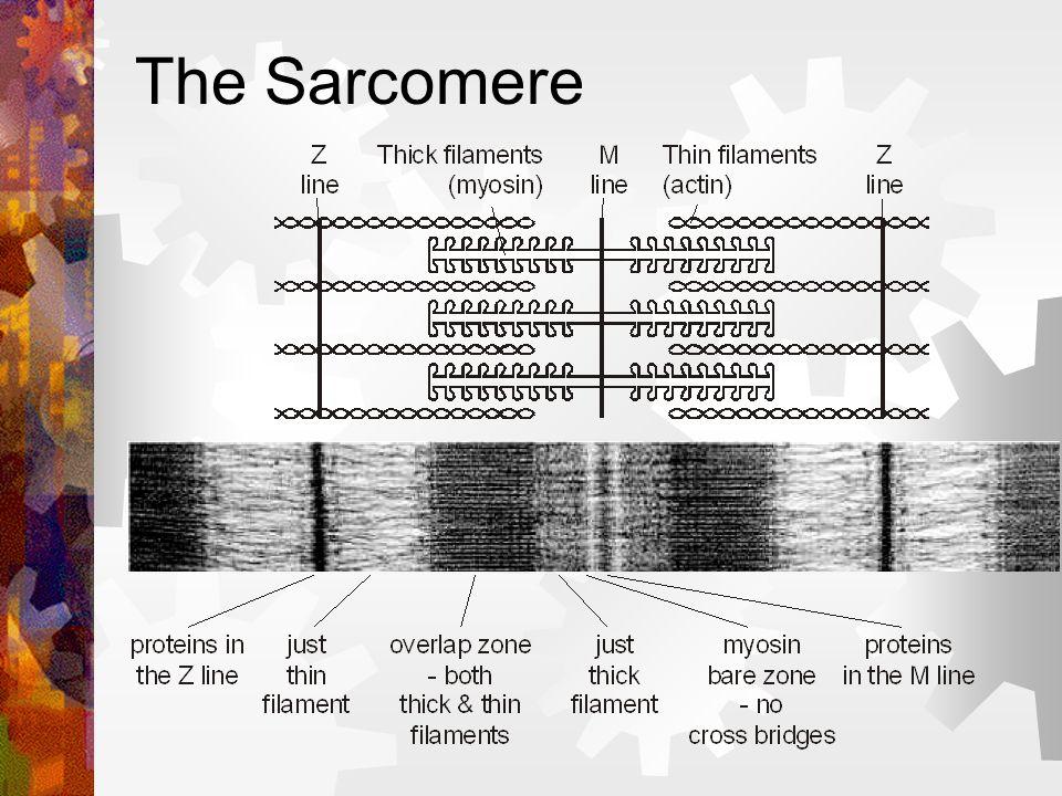 Sarcomere = the basic contractile unit