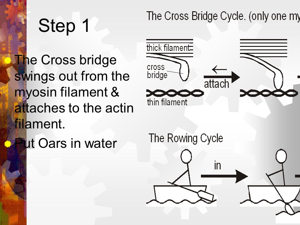 The Cross Bridge Cycle The cross bridge cycle has 4 steps It is analogues to 4 steps in rowing a boat