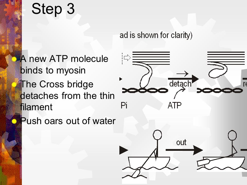 Step 2 – The Power Stroke The cross bridge changes shape & rotates through 45 degrees Causes the filaments to slide. Energy from ATP is used for this