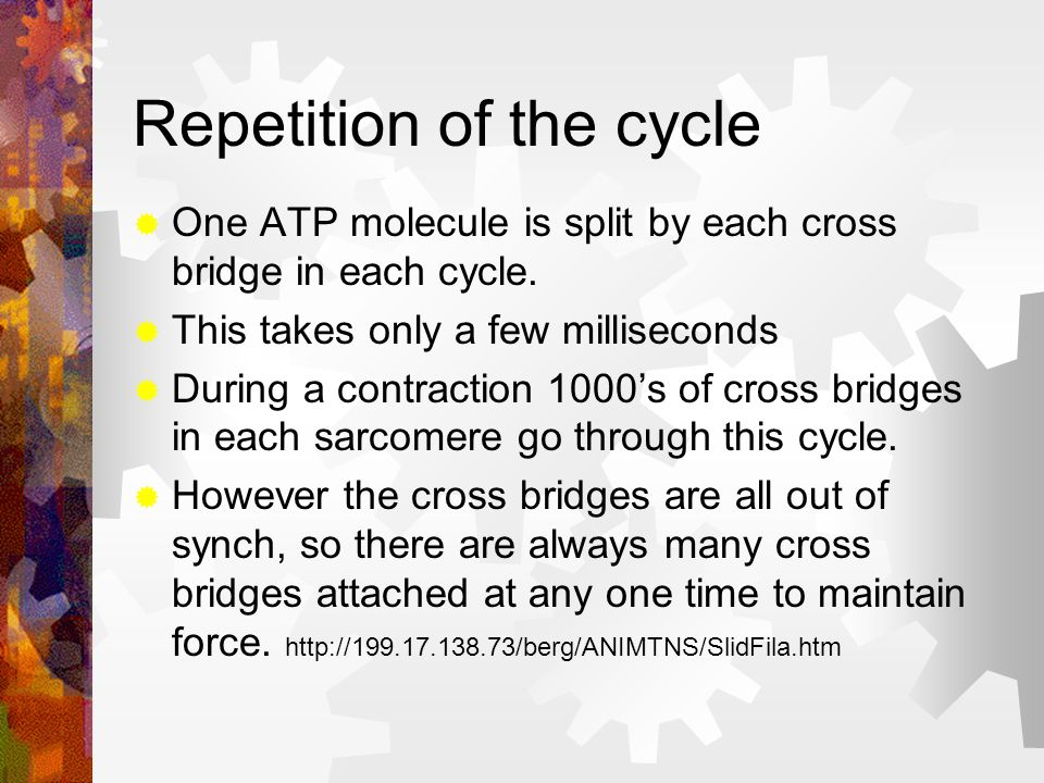 Step 4 The Cross bridge changes back to its original shape This occurs while it is detached (to ensure the actin filament is not pushed back again). I