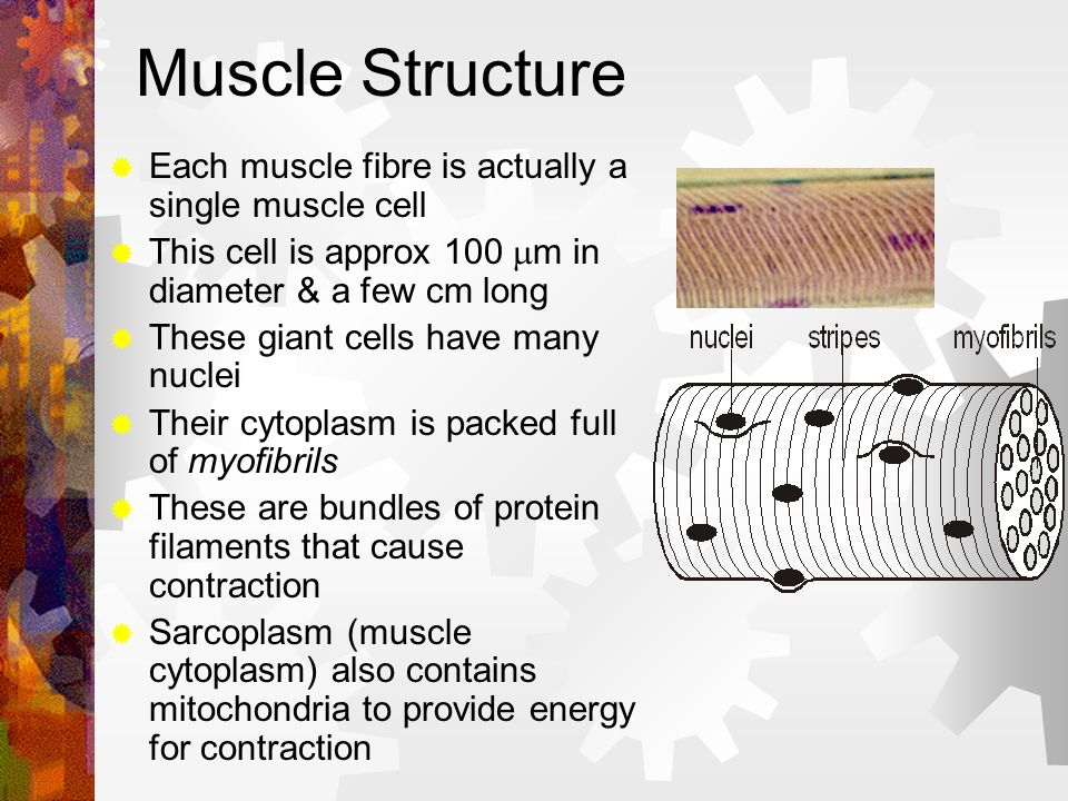 Muscle Structure A single muscle e.g. biceps contains approx 1000 muscle fibres. These fibres run the whole length of the muscle Muscle fibres are joi