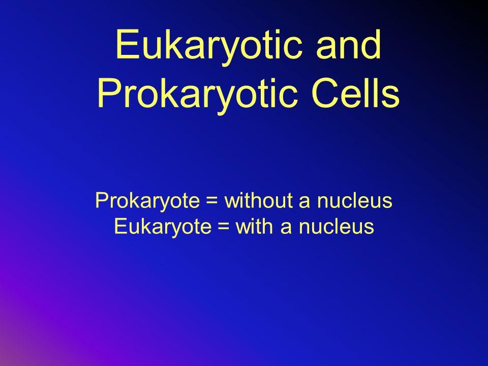 Eukaryotic and Prokaryotic Cells Prokaryote = without a nucleus Eukaryote = with a nucleus