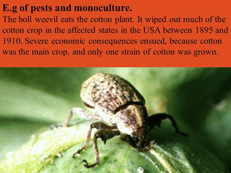 E.g of pests and monoculture. The boll weevil eats the cotton plant.