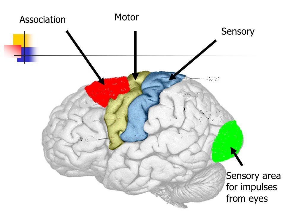 Association Motor Sensory Sensory area for impulses from eyes