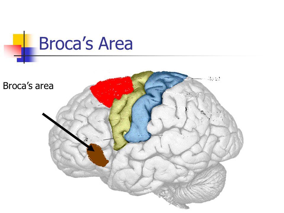 Brocas Area Brocas area