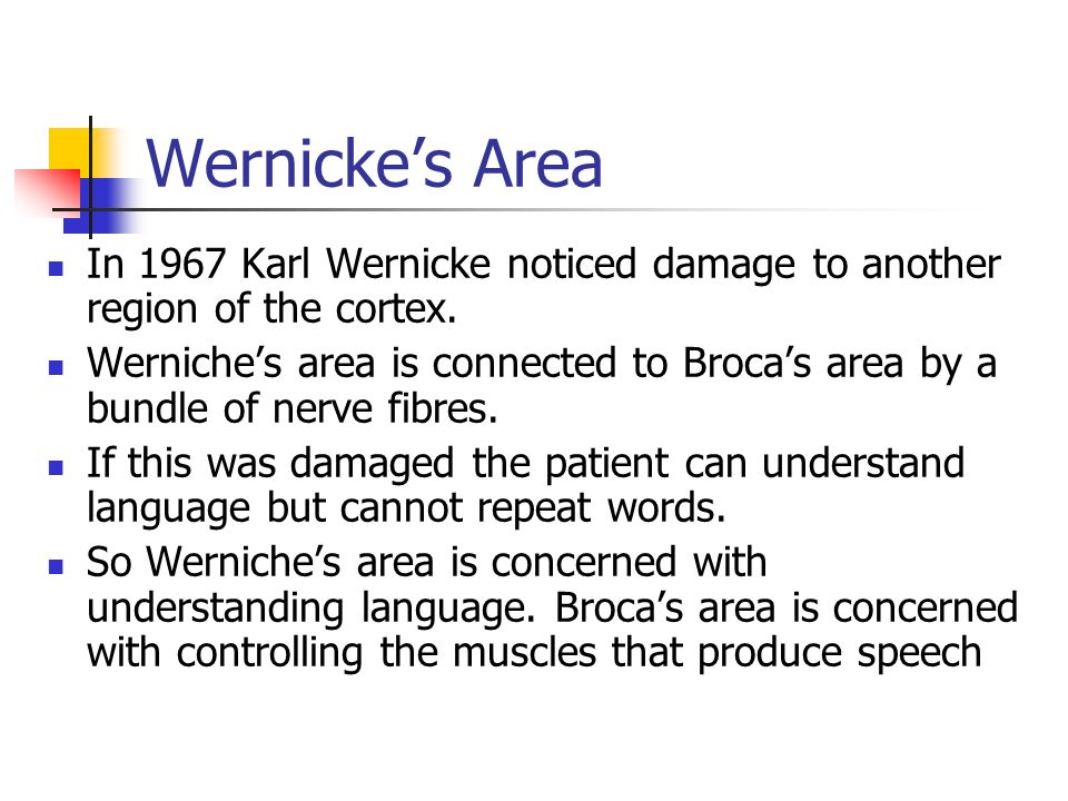 Wernickes Area In 1967 Karl Wernicke noticed damage to another region of the cortex. Werniches area is connected to Brocas area by a bundle of nerve f