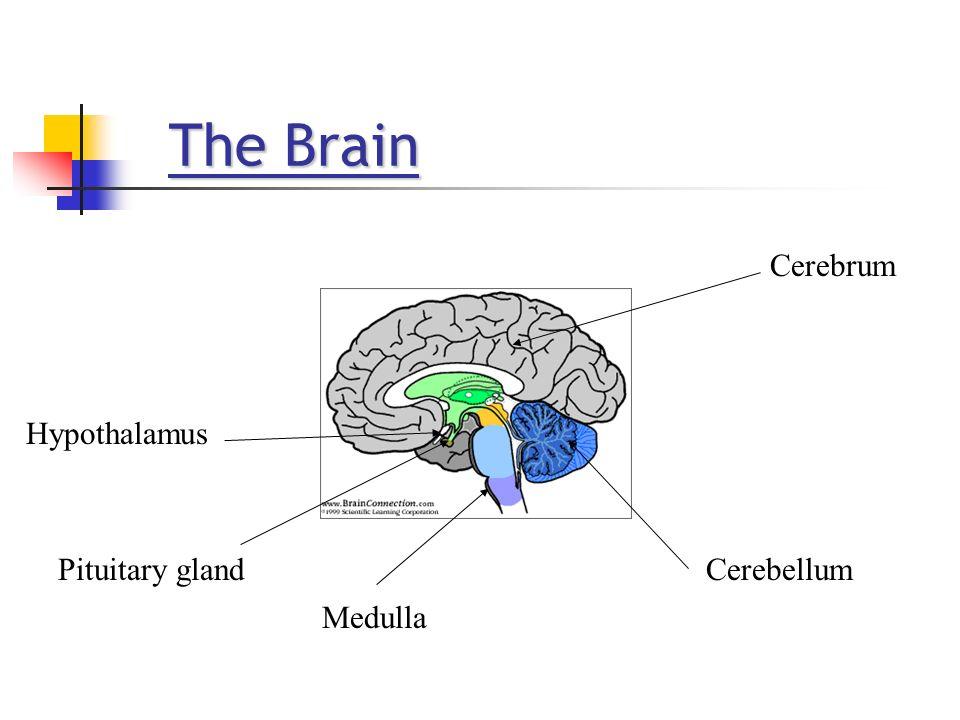 The Brain The Brain Cerebrum Cerebellum Medulla Pituitary gland Hypothalamus