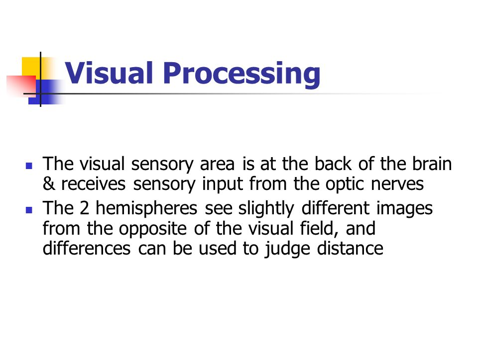 Visual Processing The visual sensory area is at the back of the brain & receives sensory input from the optic nerves The 2 hemispheres see slightly di