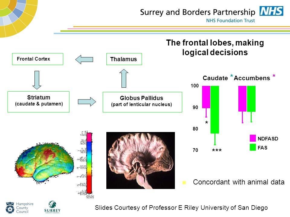 The frontal lobes, making logical decisions Frontal Cortex Striatum (caudate & putamen) Globus Pallidus (part of lenticular nucleus) Thalamus Caudate