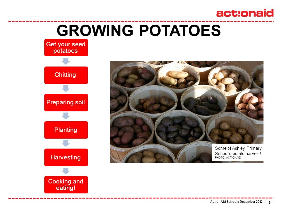 ActionAid schools | DATE | 3 Get your seed potatoes ChittingPreparing soilPlantingHarvesting Cooking and eating! GROWING POTATOES Some of Ashley Prima