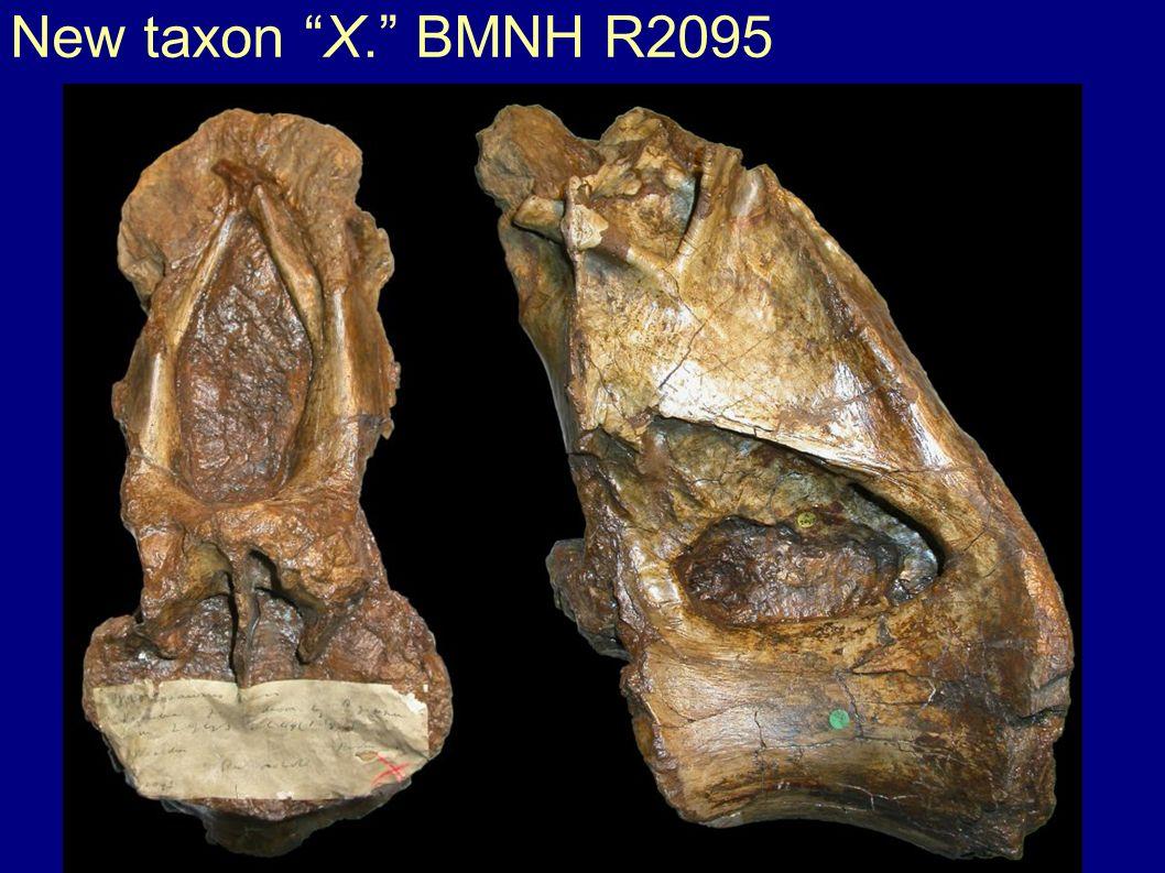 New taxon X. BMNH R2095