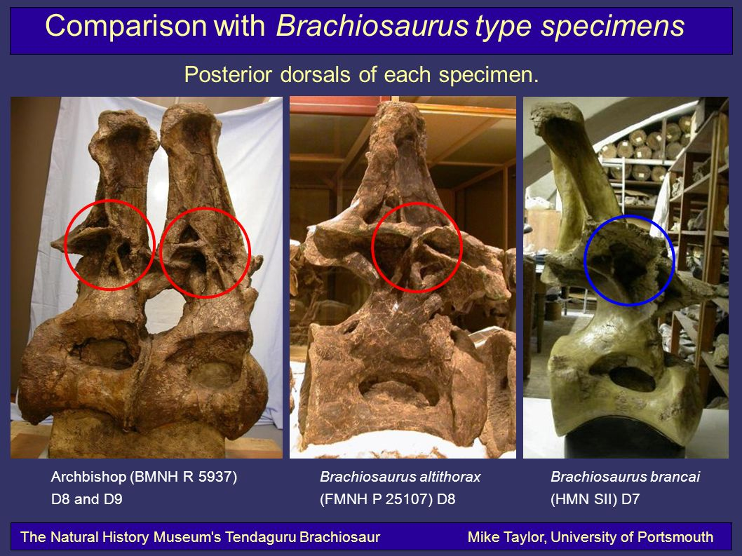 The Natural History Museum s Tendaguru BrachiosaurMike Taylor, University of Portsmouth Comparison with Brachiosaurus type specimens Posterior dorsals of each specimen.