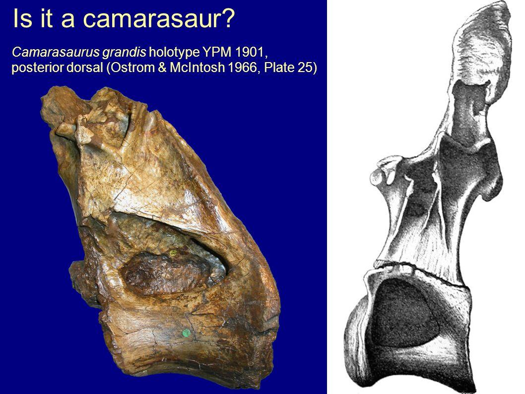 Is it a camarasaur.