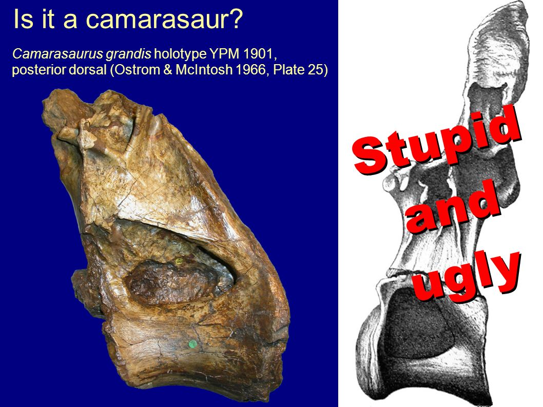 Is it a camarasaur? Camarasaurus grandis holotype YPM 1901, posterior dorsal (Ostrom & McIntosh 1966, Plate 25) Stupid and ugly Stupid and ugly