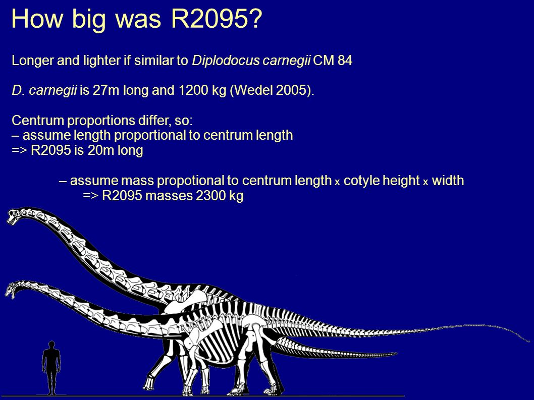 Longer and lighter if similar to Diplodocus carnegii CM 84 D. carnegii is 27m long and 1200 kg (Wedel 2005). Centrum proportions differ, so: – assume