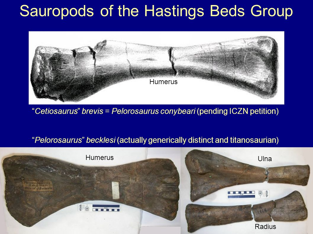 Pelorosaurus becklesi (actually generically distinct and titanosaurian) Sauropods of the Hastings Beds Group Humerus Ulna Radius Cetiosaurus brevis =