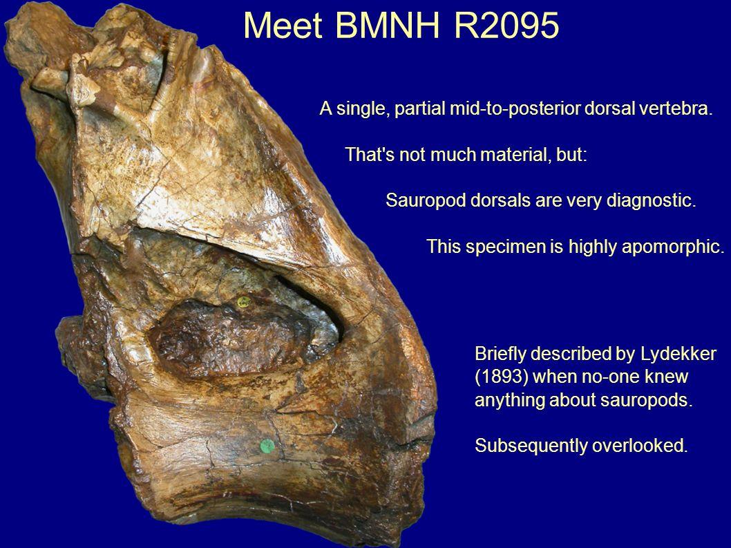 Centrum proportions are similar to Brachiosaurus brancai holotype HMN SII, D7 B.