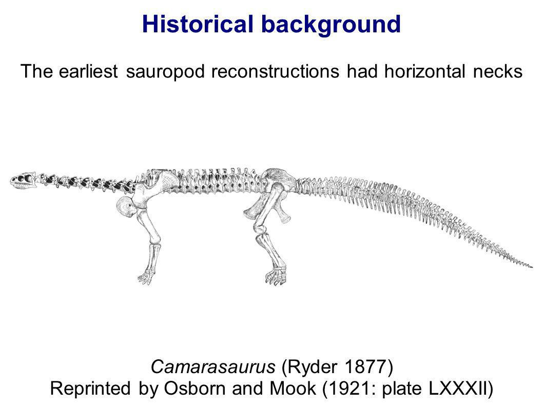 Historical background The earliest sauropod reconstructions had horizontal necks Camarasaurus (Ryder 1877) Reprinted by Osborn and Mook (1921: plate L
